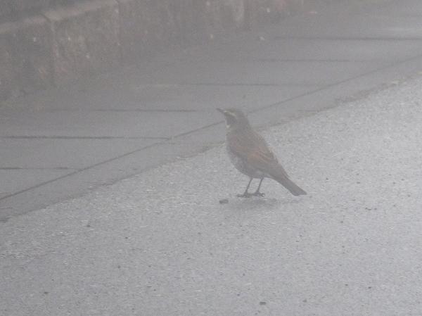 ツグミ 2014.12.30 濃い霧の中をたたずむ。 胸を張る姿勢が特徴的。