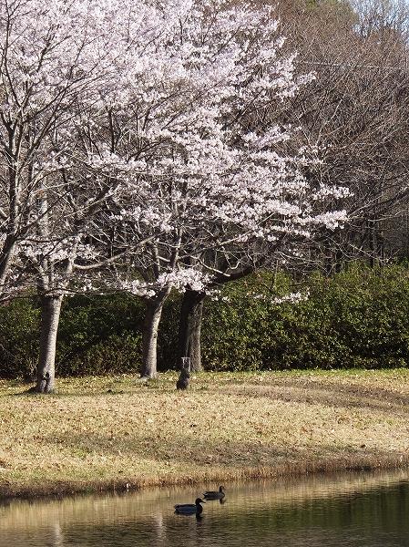 2014.4.5 マガモ、桜咲く池で。