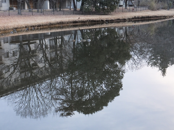 2014.1.30 マガモ 冬枯れの池で。