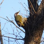 アオゲラ  Picus awokera  JAPANESE GREEN WOODPECKER