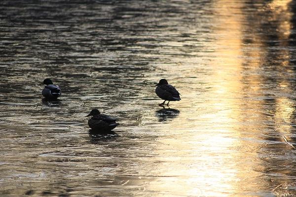 2014.2.6 マガモ、凍った池で。
