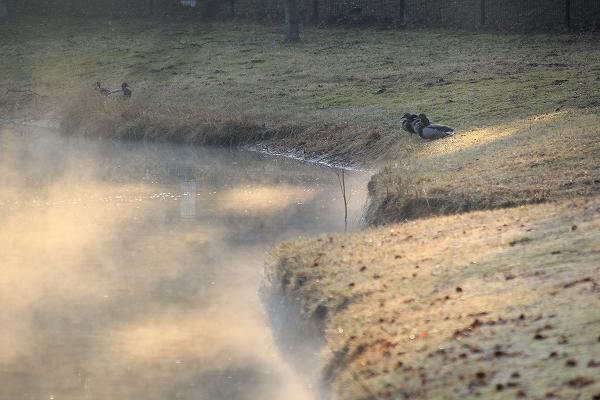 2014.3.28 マガモ 霧の池で。