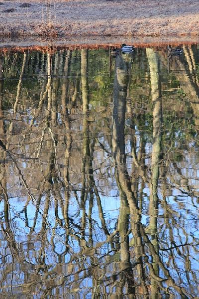 2014.3.15 雑木林の映る池でマガモ。