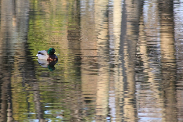 2014.3.19 明るくなってきた池で マガモ。