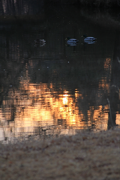 2014.3.25 林に囲まれた池にやっと太陽が。